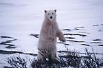 A polar bear standing on hind legs, Canada.