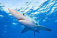 blue shark, Prionace glauca, Pico Island, Azores, Portugal, Atlantic Ocean