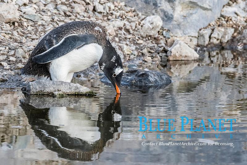 gentoo penguin, Pygoscelis papua, molting and drinking melt water in Neko Harbor, Antarctica, Southern Ocean