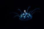 Nausithoe punctata w amphipod, Black Water Diving, extreme scuba diving, Gulf Stream Current, macro underwater, Nauticam, Nikon, Pelagic marine life, Plankton, SE Florida Atlantic Ocean, vertical migration