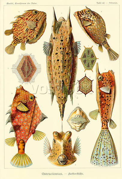 Ostraciontes (Trunkfishes), by Ernst Haeckel, 1904