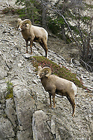 Pair of Bighorn Sheep standing on a rocky hill