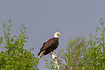 Bald eagle perched on a b‏irch tree in northern Wisconsin.