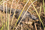 Damon, Texas; an adult American Alligator sunning itself along the bank of the slough in late afternoon light