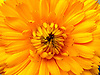 """Marigold"", is derived from ""Mary's gold"", a name first applied to a similar plant native to Europe, Calendula officinalis.<br />