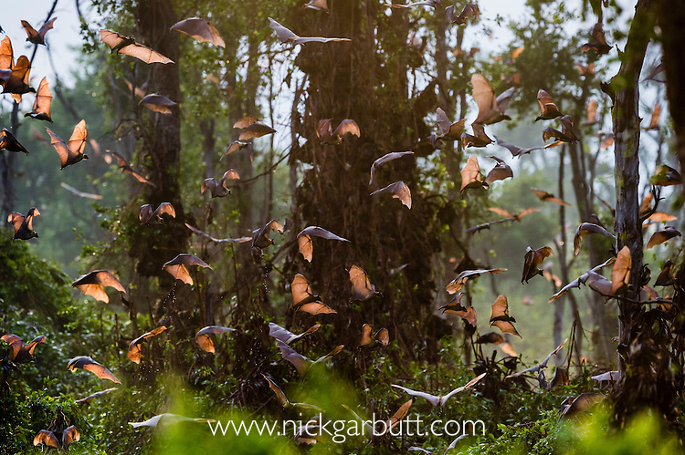 Straw-coloured Fruit Bats (Eidolon helvum) returning to their daytime roost at sunrise. Kasanka National Park, Zambia.