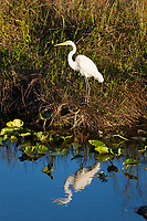 Great White Egret, also called American or Common Egret,  (Ardea Alba), Birds, Everglades National Park, Florida, FL, America, USA.