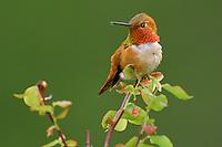 Male Rufous Hummingbird (Selasphorus rufus).  Spring.  Pacific Northwest.