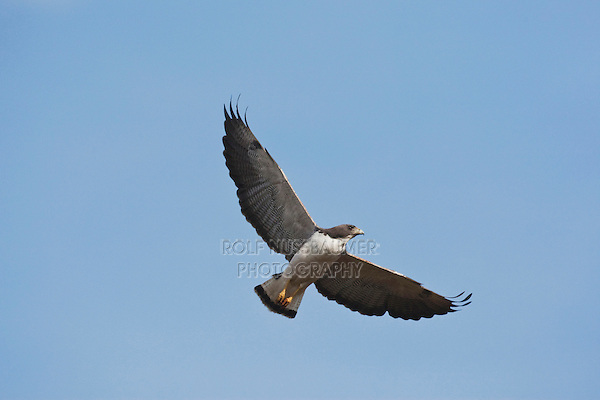 White-tailed Hawk (Buteo albicaudatus), adult in flight, Sinton, Corpus Christi, Coastal Bend, Texas, USA