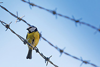 2020 04 21 blue tit Cyanistes Caeruleus rests on wire in Cardigan, Wales, UK.