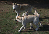 Brutus is now teaching Star & Silver the basics of wolf play.  It is a sight to behold!