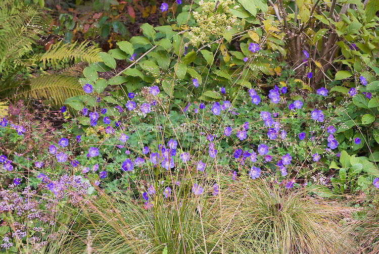 Geranium Rozanne aka Gerwat spreading perennial with blue flowers, planted with ornamental grasses, ferns, shrubs