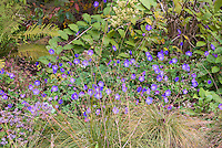 Geranium Rozanne aka Gerwat spreading perennial with blue flowers, planted with ornamental grasses, ferns, shrubs