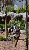 BNPS.co.uk (01202) 558833. <br /> Pic: ZacharyCulpin/BNPS<br /> <br /> Keepers at a safari park are are using a novel method to weigh their koalas. <br /> <br /> Rather than attempt to get the adorable marsupials to stay still on a weighing machine, staff at Longleat Safari Park in Wiltshire use a set of scales attached to an adapted wooden branch, which the koalas happily hold on to.<br /> <br /> Weight is a key indicator of a koala's health and each individual animal has to be weighed twice a week to ensure they're in top condition.