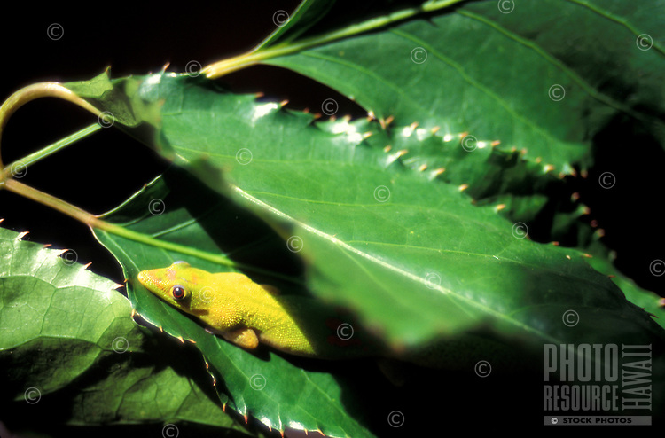 day gecko, recent introduction