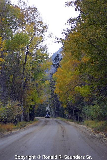 Autumn trees dwarfs car as it drives through the pines.