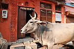 Sacred Cow-Bazaar in Taj Ganj, Agra