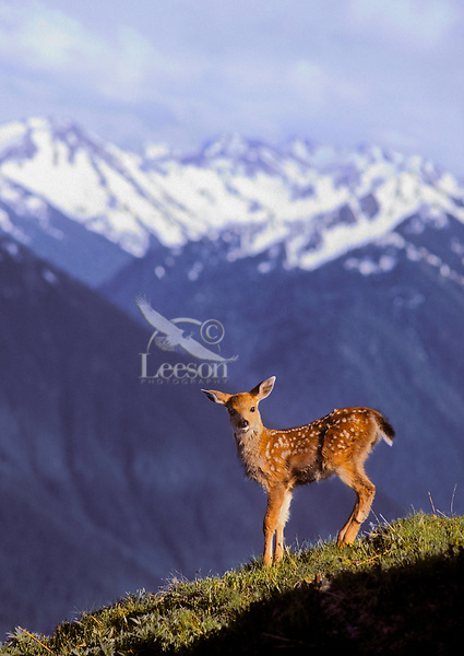 Black-tailed Deer fawn, five days old, on Hurricane Hill.<br /> Olympic National Park, Washington.<br /> Spring. (Odeocoileus hemionus).