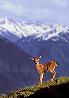 Black-tailed Deer fawn, five days old, on Hurricane Hill.<br />