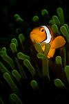 False clown anemonefish, Amphiprion ocellaris, Lembeh Strait, Bitung, Manado, North Sulawesi, Indonesia, Pacific Ocean