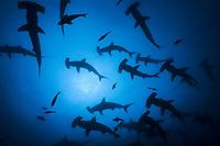 silhouette of schooling scalloped hammerhead sharks, Sphyrna lewini, in Darwin Island, Galapagos Islands, Ecuador, East Pacific Ocean