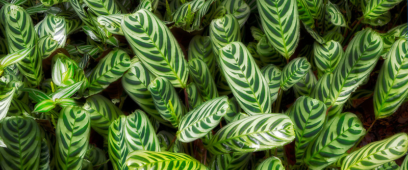 Close up of Prayer Plant (Maranta sp.) Hawaii Tropical Botanical Gardens, The Big Island, Hawaii