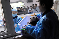 Nurses and doctors tend to pandas at the Chengdu Giant Panda Breeding and Research Base in Chengdu, China. Dec 2009..
