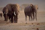 Family groups of elephants are a common sight on the dry savannahs of Amboseli National Park in Kenya.