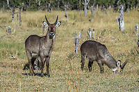 Africa, Botswana, Okavango Delta,Khwai private reserve. Waterbuck.
