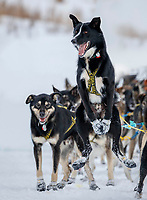 """Jeff King's leader """"Swenson"""" is still ready to run as Jeff checks in to the checkpoint at Iditarod on Thursday, March 8th during the 2018 Iditarod Sled Dog Race -- Alaska  (modified from original for client)<br /> <br /> Photo by Jeff Schultz/SchultzPhoto.com  (C) 2018  ALL RIGHTS RESERVED"""