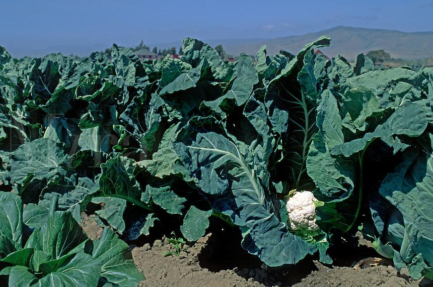 A head of cauliflower ripens in the field - Salinas Valley, California