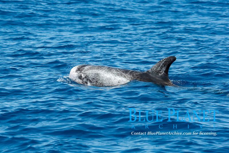 Risso's dolphin, Grampus griseus, surfacing, Drake Bay, Costa Rica, Pacific Ocean