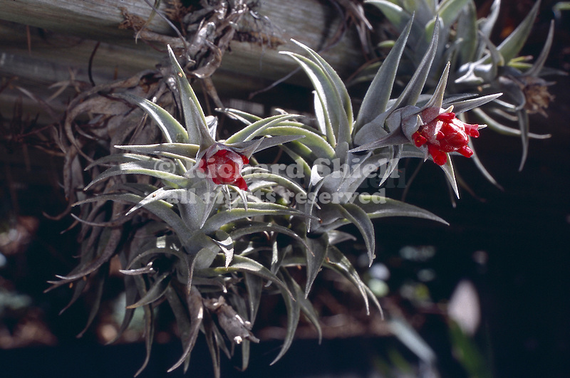 13708-AG Bromeliad, Tillandsia edithae, growing into air from wood bench in shade house, flowering in August, at Sherman Oaks