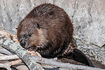 North American Beaver chewing on wood full body view