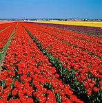 Netherlands, South Holland, near Lisse: Bollenstreek - the main tulip growing area between Leiden and Haarlem | Niederlande, Suedholland, bei Lisse: Bollenstreek (Deutsch: Blumenzwiebelgegend) ist das Haupt-Tulpenanbaugebiet zwischen Leiden und Haarlem