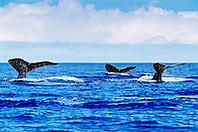 humpback whales, Megaptera novaeangliae, fluke-up dive or fluking, Hawaii, USA, Pacific Ocean
