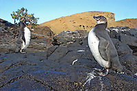 Two Galapagos penguins (Spheniscus mendiculus) on rocks, Bartolome Island, Ecuador, Galapagos Archipelago