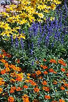 Rudbeckia, Zinnia Profusion Orange, Salvia farinacea, Mixed Annual flowers garden