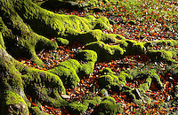 Moss covered tree roots with autumn leaves, Trough of Bowland, Lancaster, Lancashire.