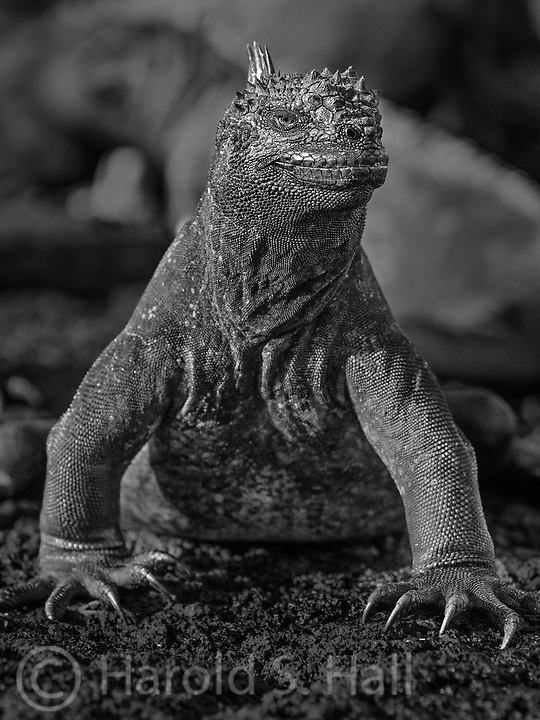 A large male iguana guards his territory, chasing away a pesky photographer.