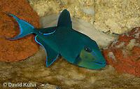 0518-1002  Niger triggerfish, Odonus niger  © David Kuhn/Dwight Kuhn Photography