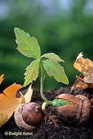 TT18-025b  Oak - seed germinating - Quercus spp.