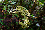 Female Sumatran pit viper (Trimeresurus sumatranus)(sometimes Parias sumatranus) in rain forest understorey. Danum Valley, Sabah, Borneo.