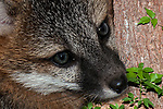 6 week old Gray fox kitt resting on ground at the edge of the forest, close-up.