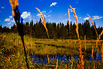 View through grasses of marsh at Twin Lakes, a remote area of Colville National Forest where elk, moose, eagle, osprey, beaver and a myriad of other wildlife may be seen.  Look, do not damage.