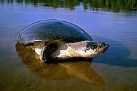 Animais. Reptis. Tartaruga-da-Amazônia ( Podocnemis unifilis). AM. Foto de Juca Martins.