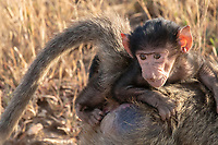 A baby Olive Baboon, Papio anubis, rides on an adult's back in Serengeti National Park, Tanzania