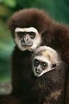 Lar gibbon and infant. (captive)