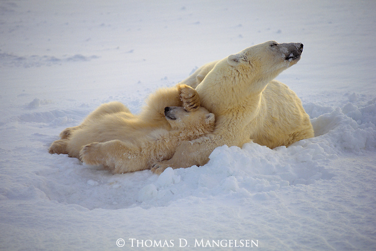A polar bear cub rests after being fed by its mother in Wapusk National Park, Manitoba, Canada.