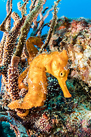 "Pacific seahorse, Hippocampus ingens, among gorgonian coral on Salvatierra Wreck -a cargo ferry ""La Salvatierra"" which sank in 1976 moments after striking Swanee Rock, Baja California, Mexico, Guld of California, Sea of Cortez, Pacific Ocean"